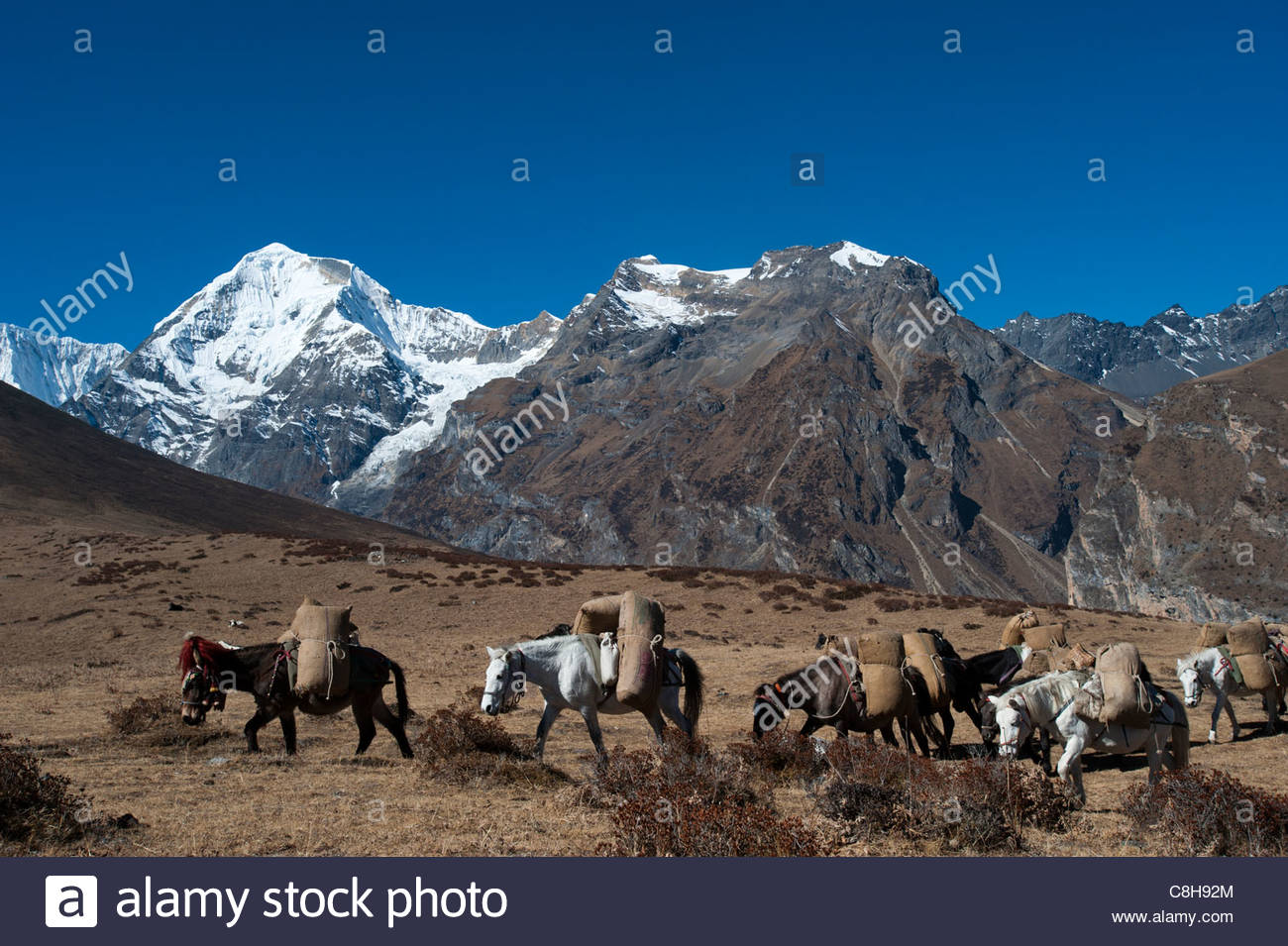 Pack horses cross a small pass after Goyul on the Lasa-Gasa trek route. - Stock Image