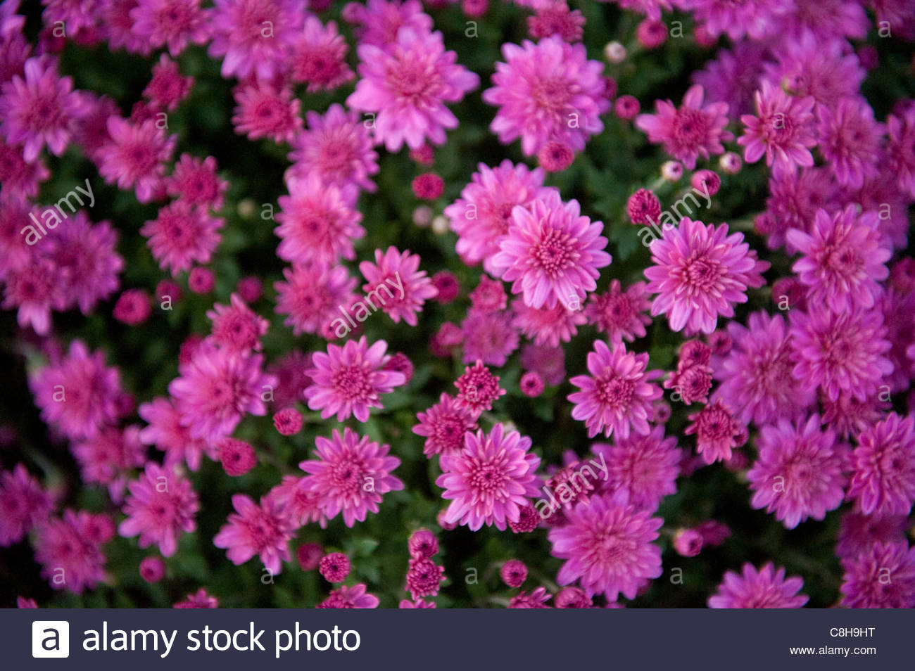 A grouping of pink mums. - Stock Image