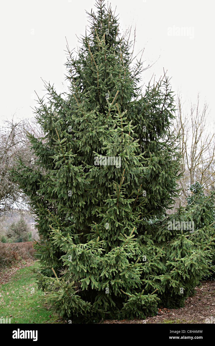 Picea abies - Spruce - Stock Image