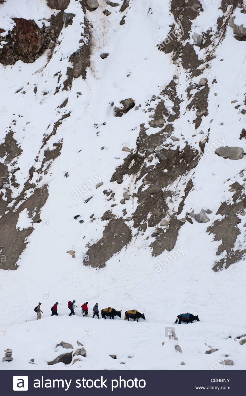 Yaks arrive with supplies for the mountaineers at Everest base camp - Stock Image