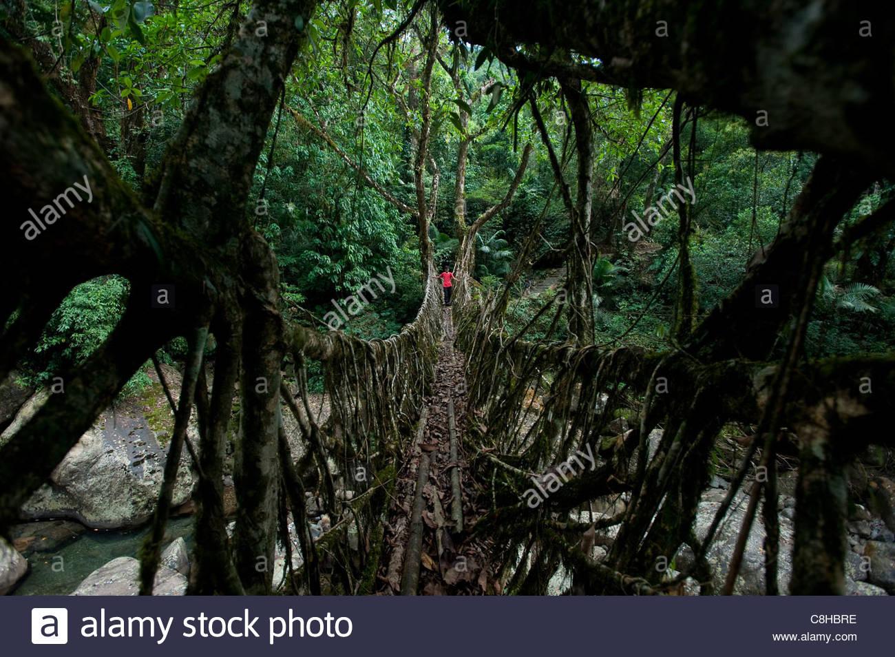 At over 30m long, Ritymmen bridge is the longest living root bridge - Stock Image