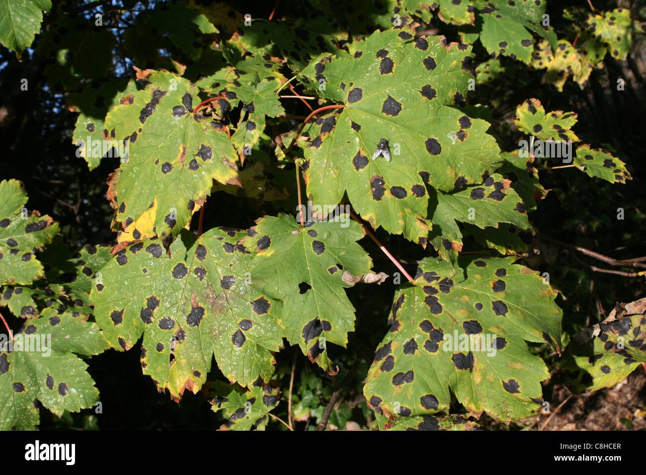 Tar Spot Fungus Rhytisma acerinum On Sycamore Leaves - Stock Image