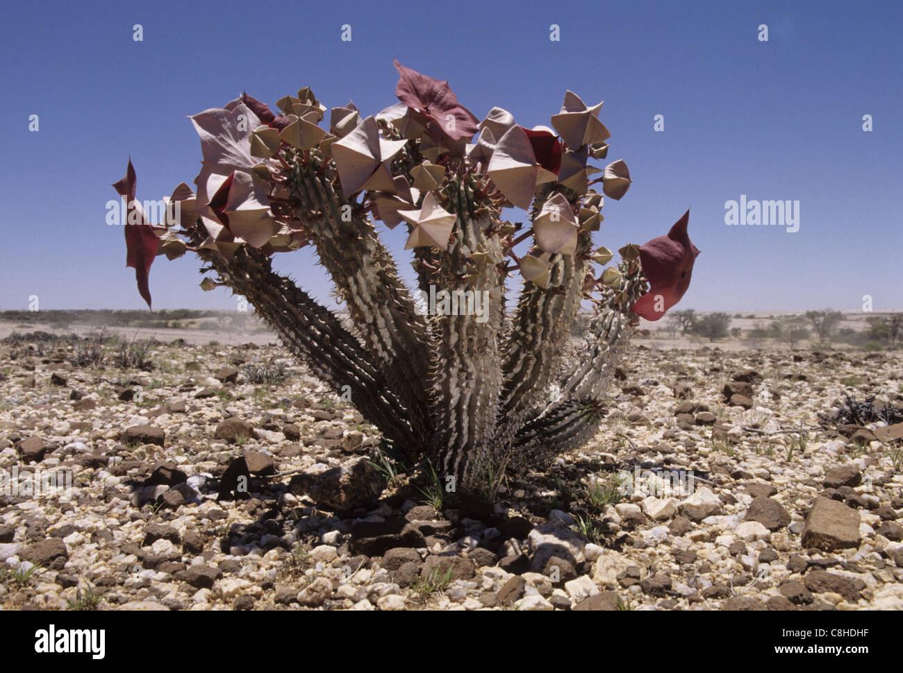 Hoodia Gordonii Asclepiadaceae Namibia Africa Plant Stock