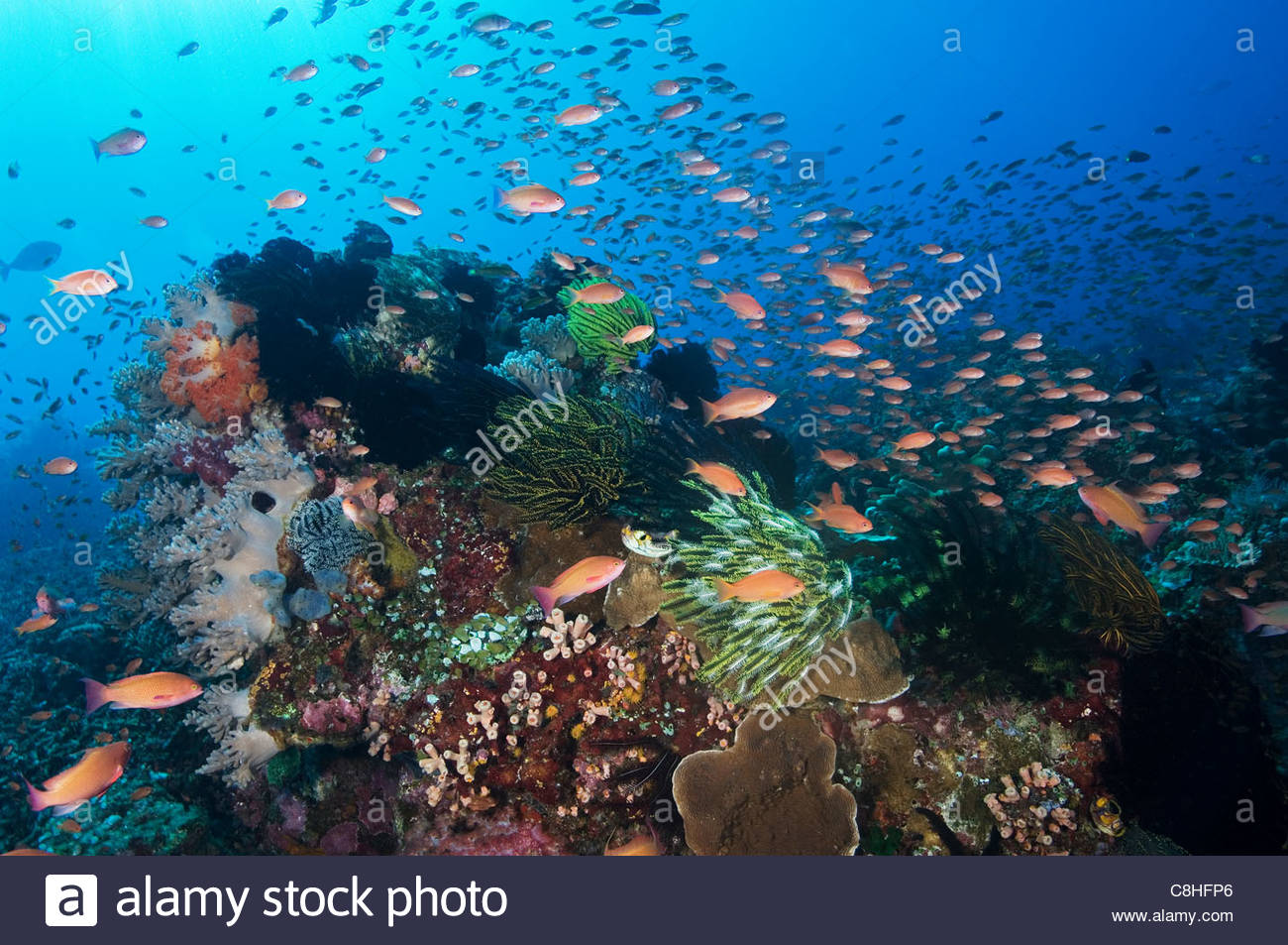A school of anthias fish feed in a strong current over a reef. - Stock Image