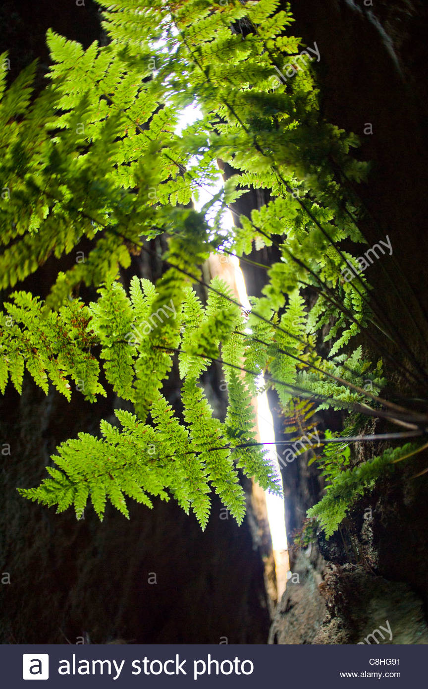 Ferns seek the light in a side canyon of Deep Pass. - Stock Image