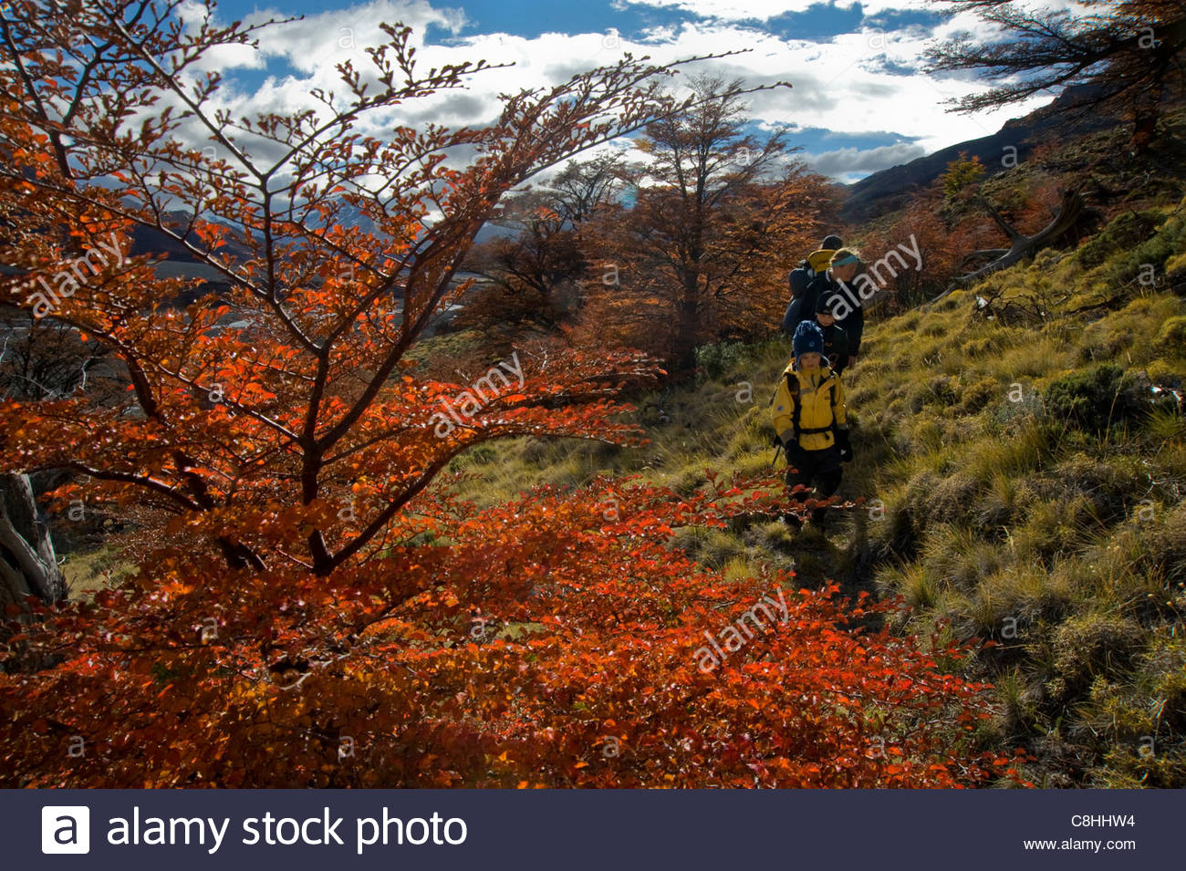 A family treks through beech trees resplendent in fall colors. - Stock Image
