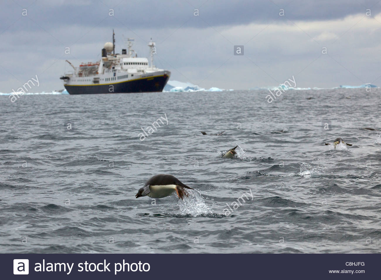 Adelie penguins leaping near the National Geographic Endeavor. - Stock Image