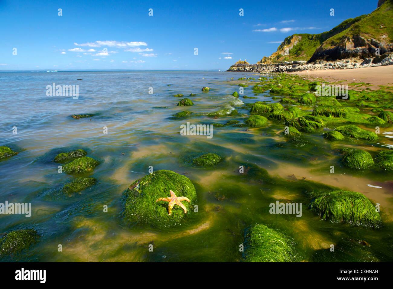 Seaweed covered shoreline, Caldey Island, Pembrokeshire, with Common Starfish. - Stock Image