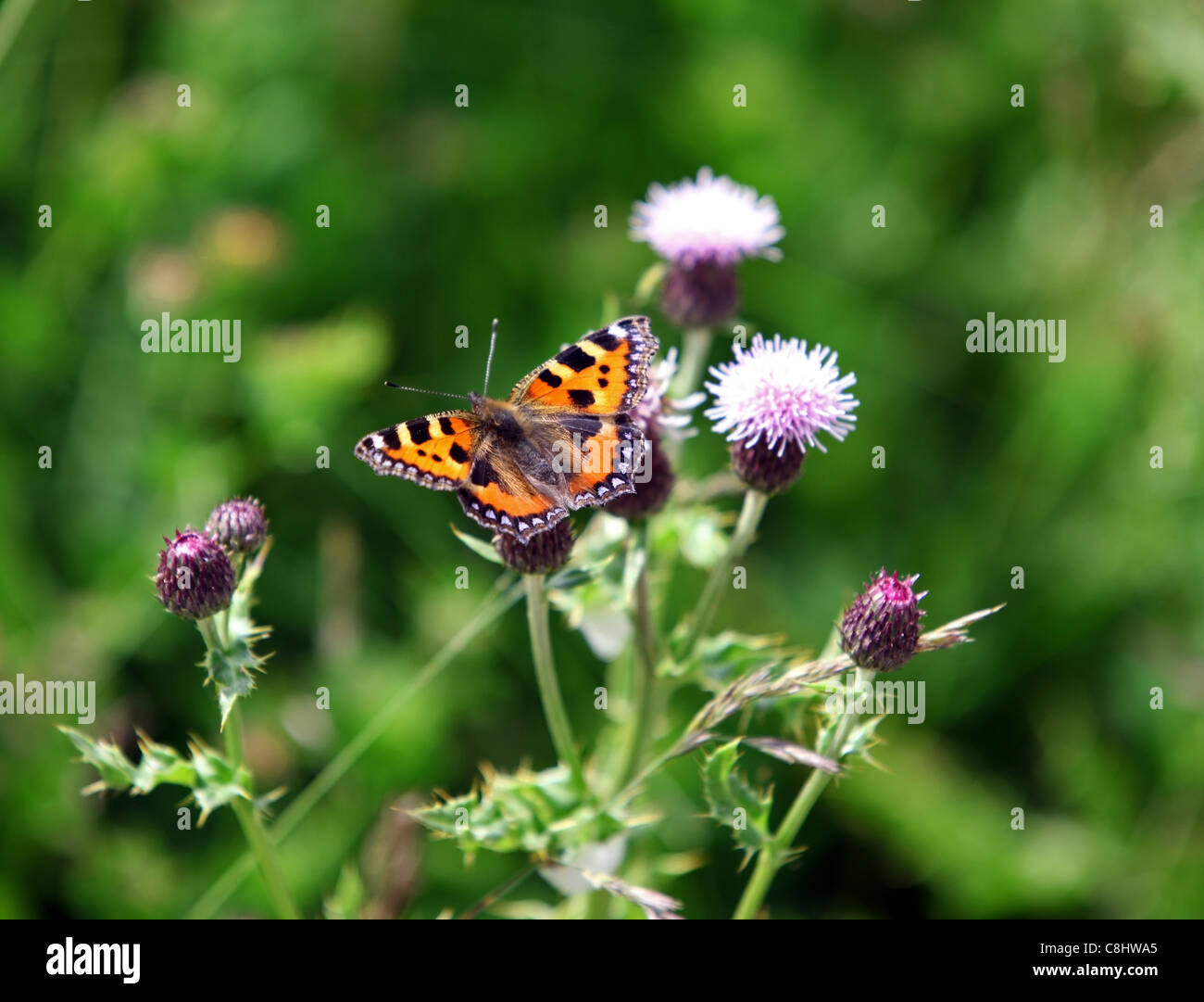 Small tortoiseshell (Aglais urticae) butterfly on thistle in Scotland, UK, during summer months - Stock Image