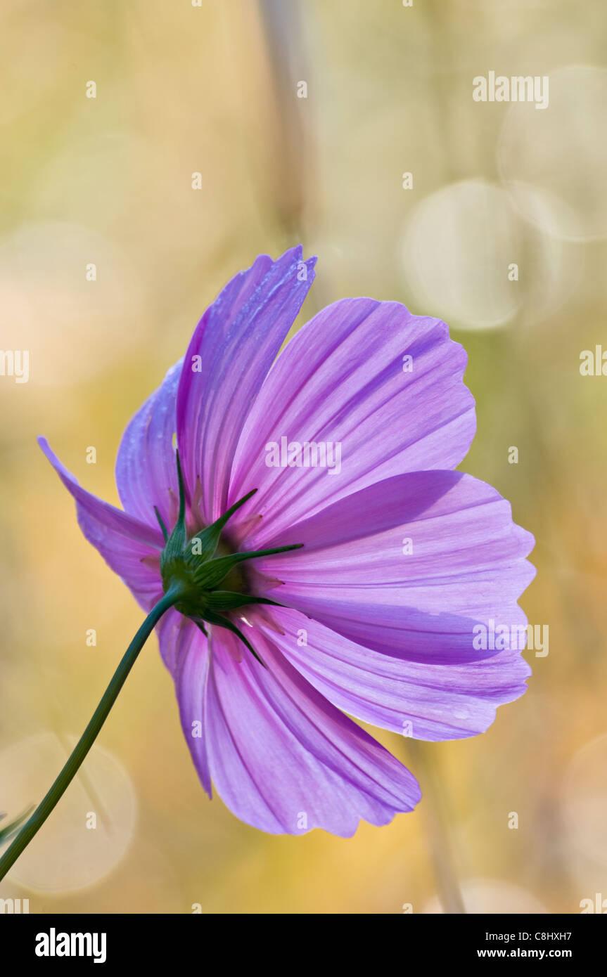 Backlit Cosmos Flower - Stock Image