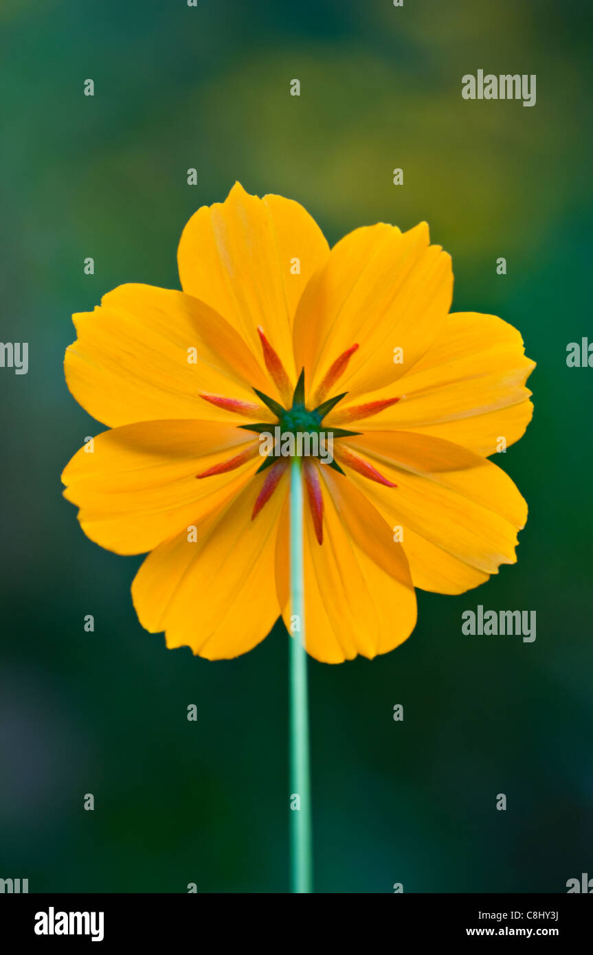 Backside of a Cosmos Flower - Stock Image