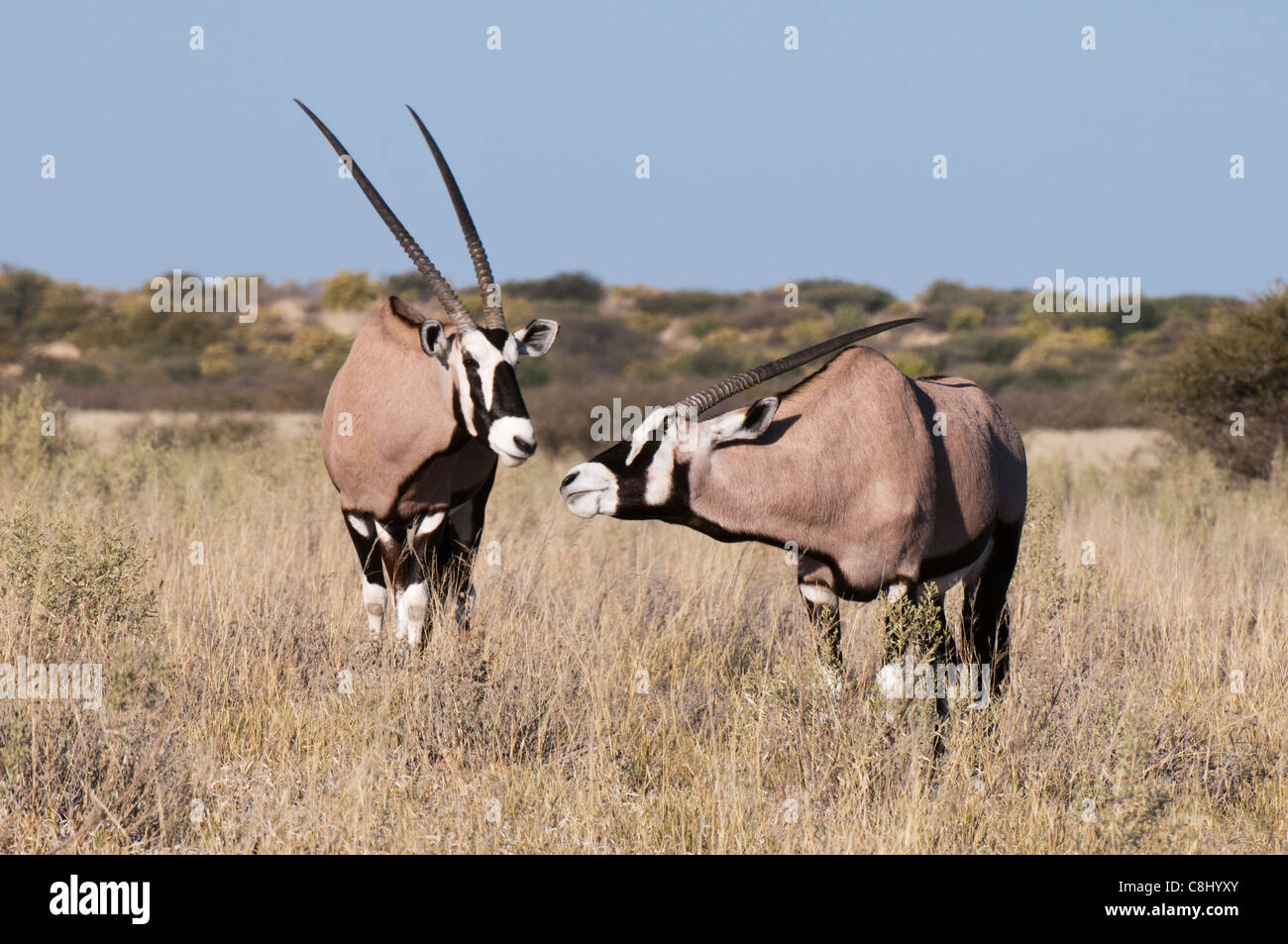Gemsbok (Oryx gazella), Deception Valley, Central Kalahari Game Reserve, Botswana. - Stock Image
