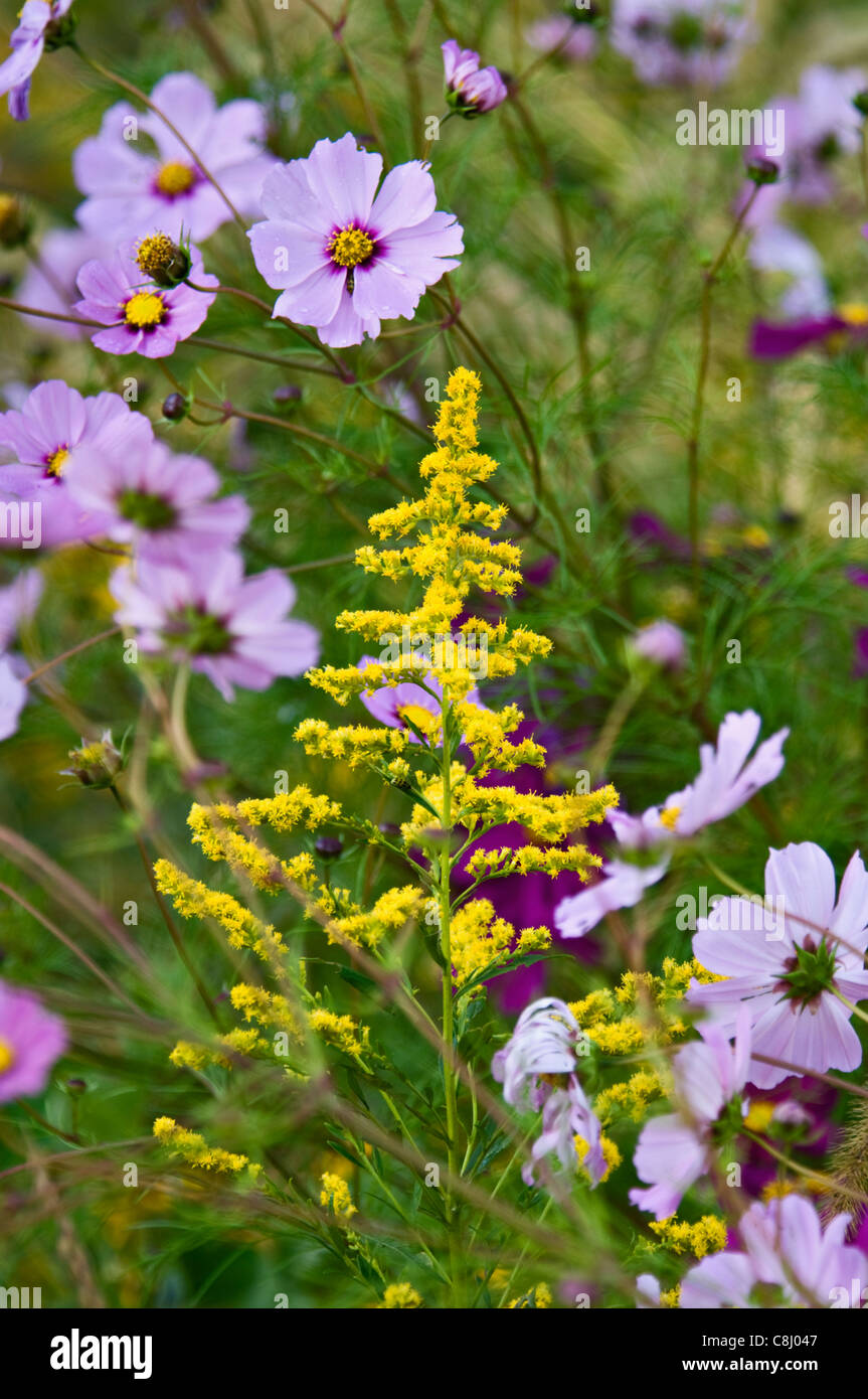 Goldenrod and Cosmos - Stock Image