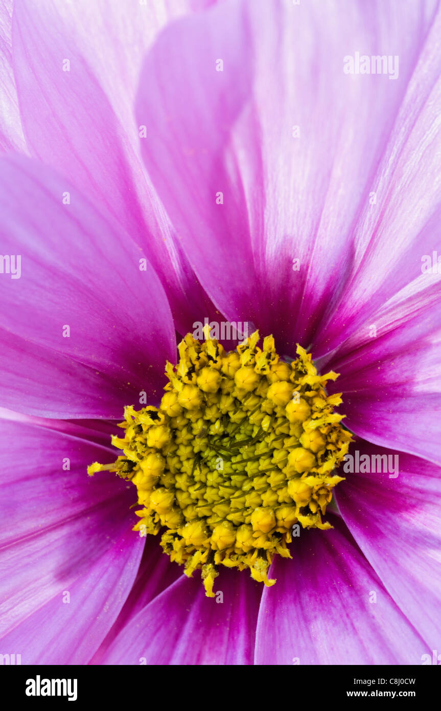 Close-up of a Cosmos Flower - Stock Image