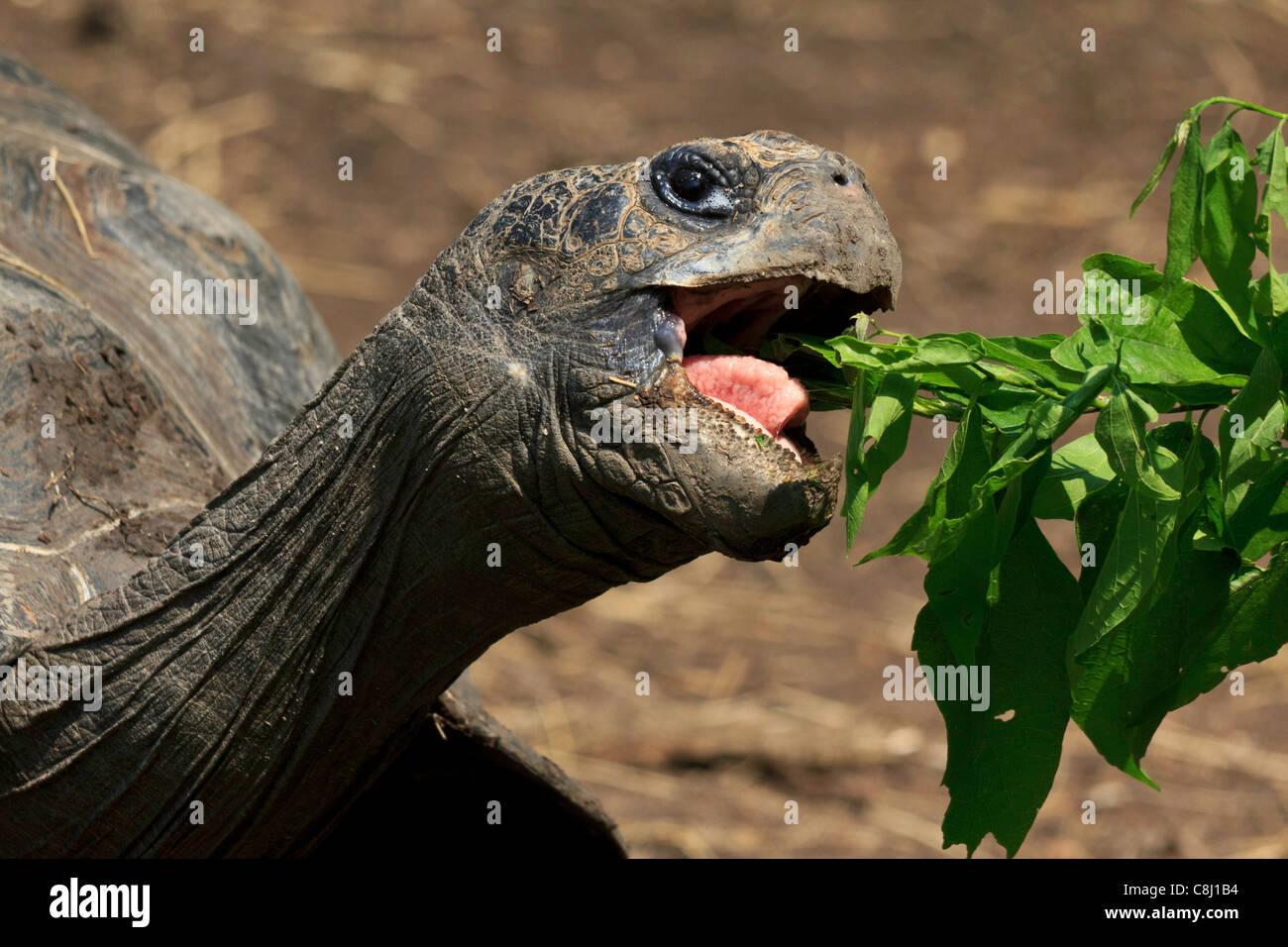 Animalia, Chordata, Dallas Zoo, Galápagos tortoise, geochelone nigra, Giant tortoise, largest living tortoise, - Stock Image