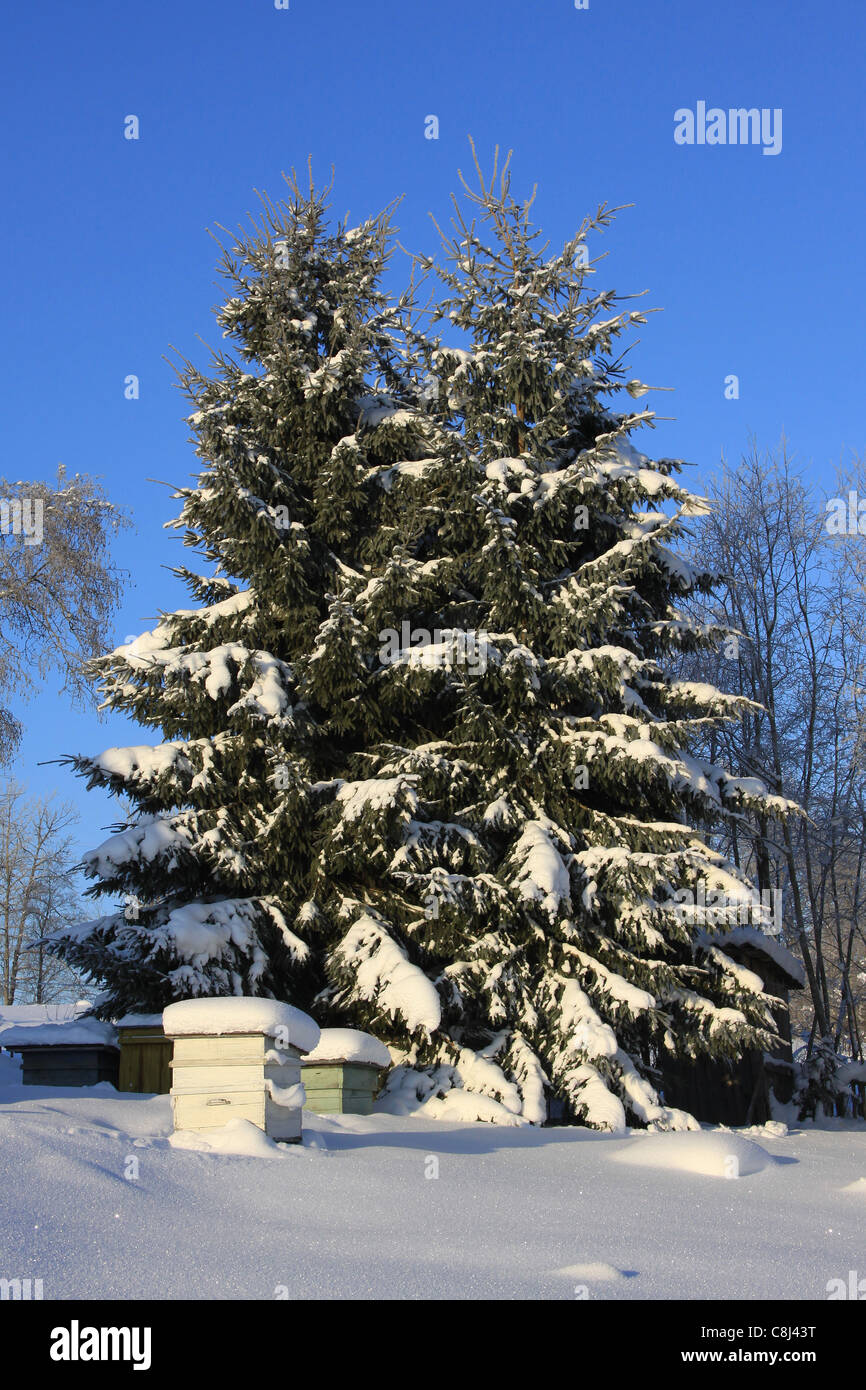 A snow-covered spruces and beehives covered with snow - Stock Image