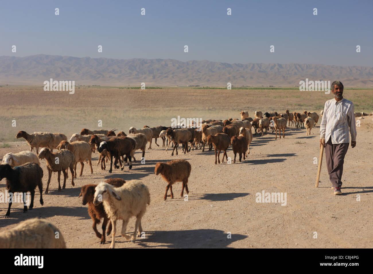 herd, flock, drove flocks. sheep, lamp, shepherd, animals, livestock, pasturage, Iran, silk road, man, on the way, - Stock Image