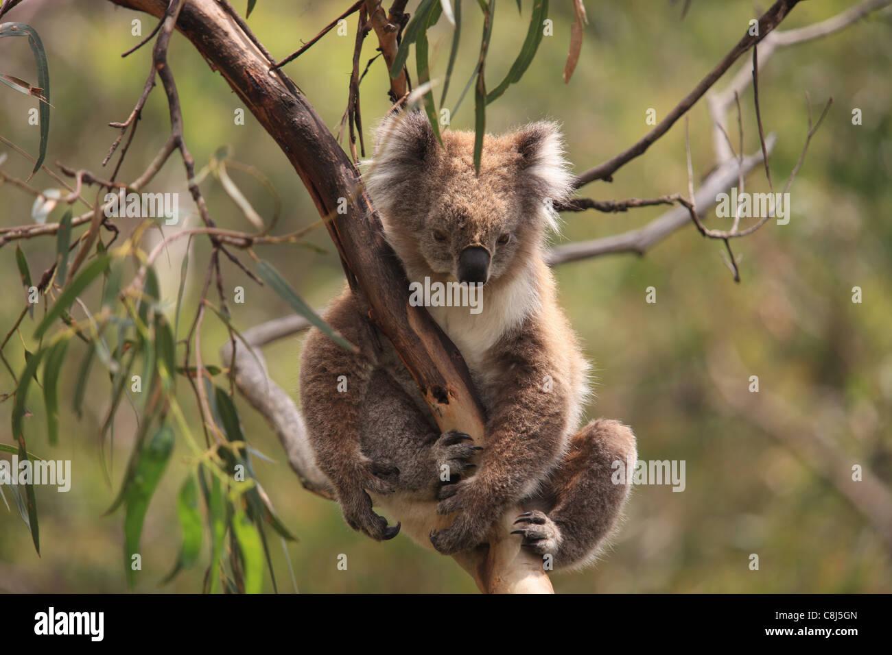 Koala, Phascolarctos cinereus, Australia, marsupial, arboreal, herbivorous, animal, mammal, Eucalyptus, Toxine, - Stock Image