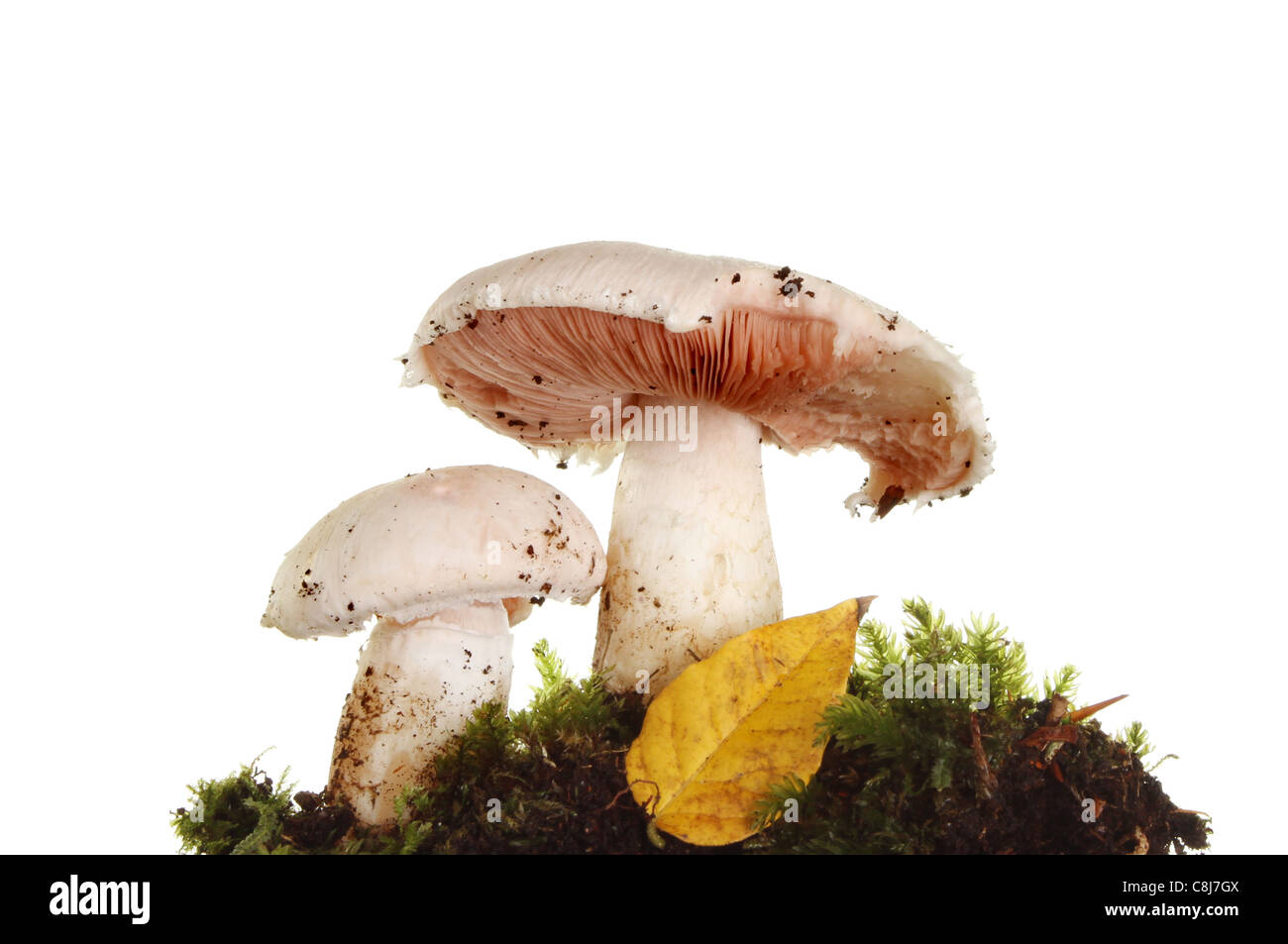 Closeup of two wild mushrooms with moss and an Autumn leaf - Stock Image