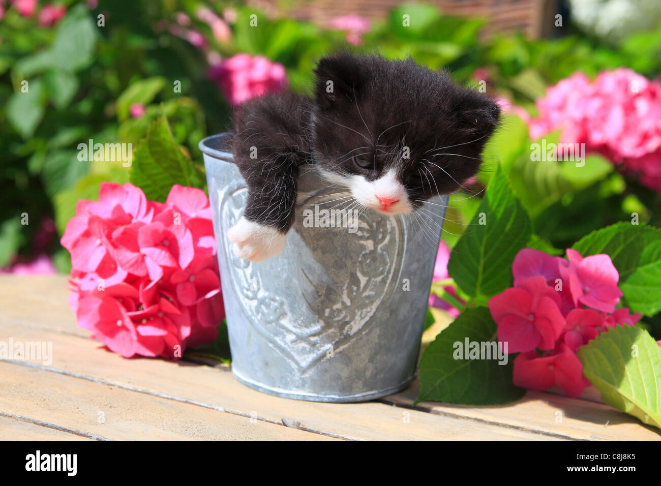 3 weeks, flower, flowers, garden, house, home, Animal, domestic animal, pet, young, cat, jug, kitten, vase, outdoors, - Stock Image