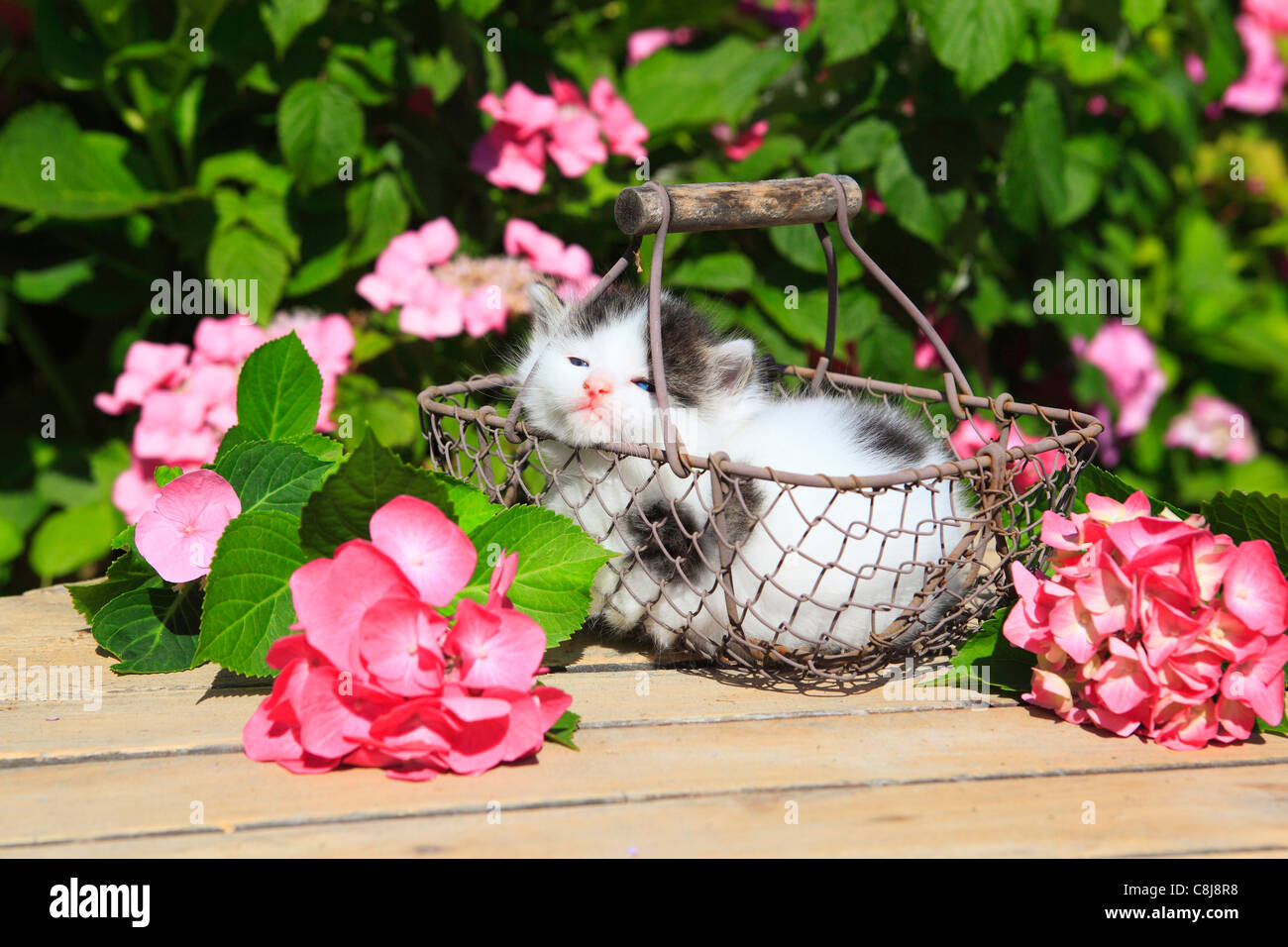 3 weeks, flower, flowers, garden, house, home, Animal, domestic animal, pet, young, cat, basket, kitten, baskets, - Stock Image