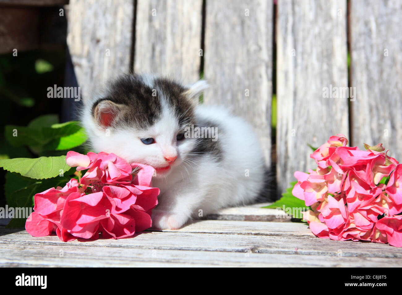 3 weeks, flower, flowers, garden, house, home, Animal, domestic animal, pet, young, cat, kitten, outdoors, outside, - Stock Image
