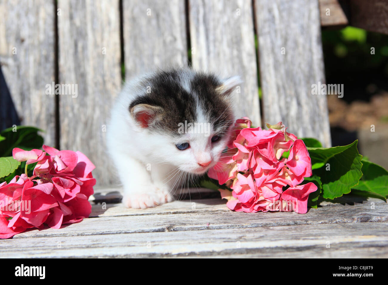 3 weeks, flower, flowers, garden, house, home, Animal, domestic animal, pet, young, cat, kitten, outdoors, outside, Stock Photo
