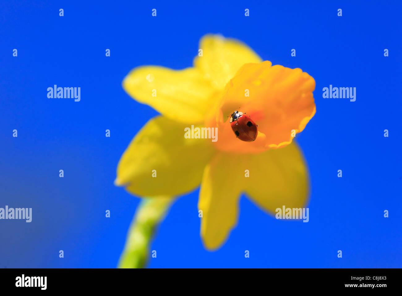 2, Adalia bipunctata, flower, flowers, blossom, flourish, Coccinellidae, detail, field, spring, garden, garden flower, - Stock Image