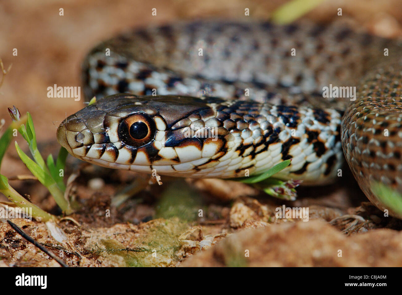Balkan whip snake, whip snake, racer, colubrid, colubrids, Hierophis gemonensis, snake, snakes, reptile, reptiles, - Stock Image
