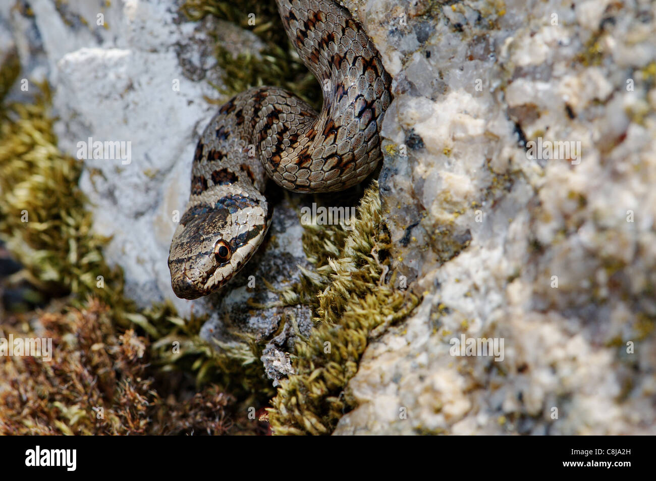 smooth snake, Coronella austriaca, snake, snakes, reptile, reptiles, portrait, protected, endangered, indigenous, - Stock Image