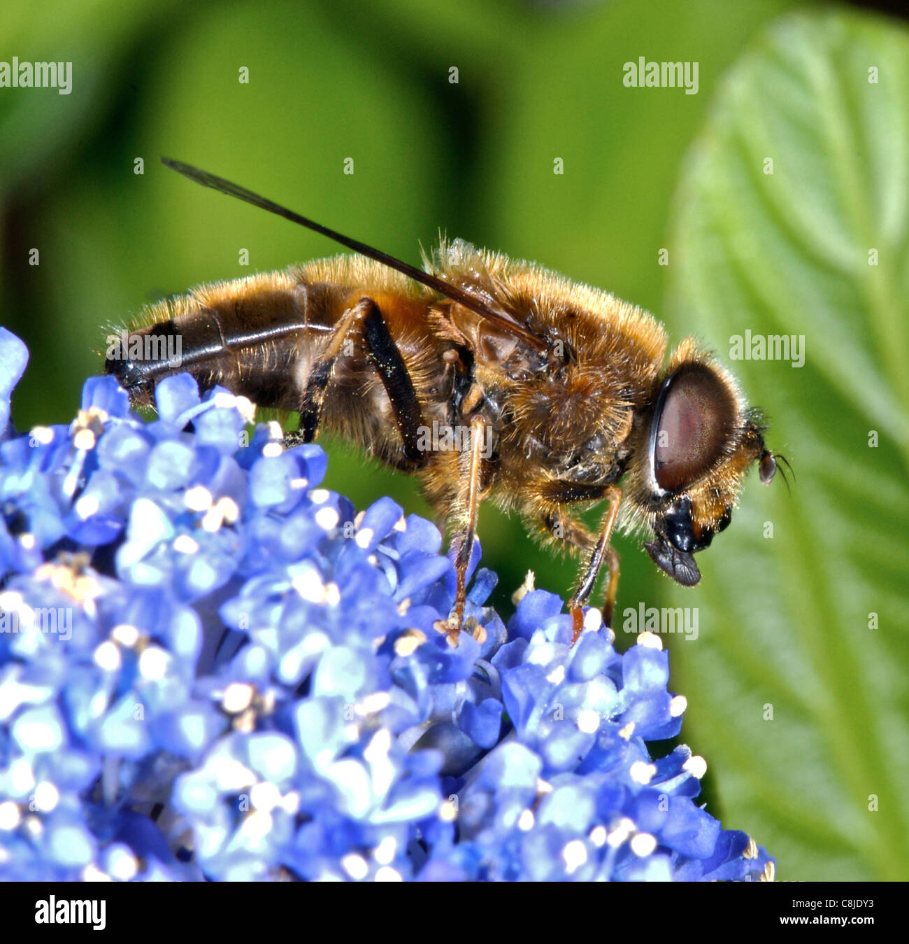 Honeybee  honey bee gathering nectar (and pollen) in the UK Stock Photo