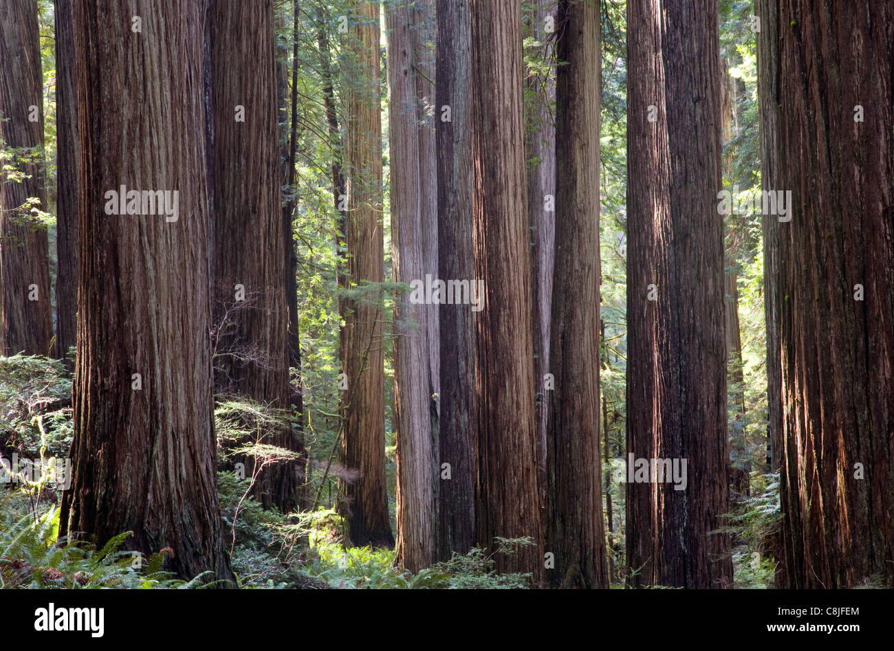 CALIFORNIA - Redwood forest along the Scout Trail in Jedediah Smith Redwoods State Park. - Stock Image