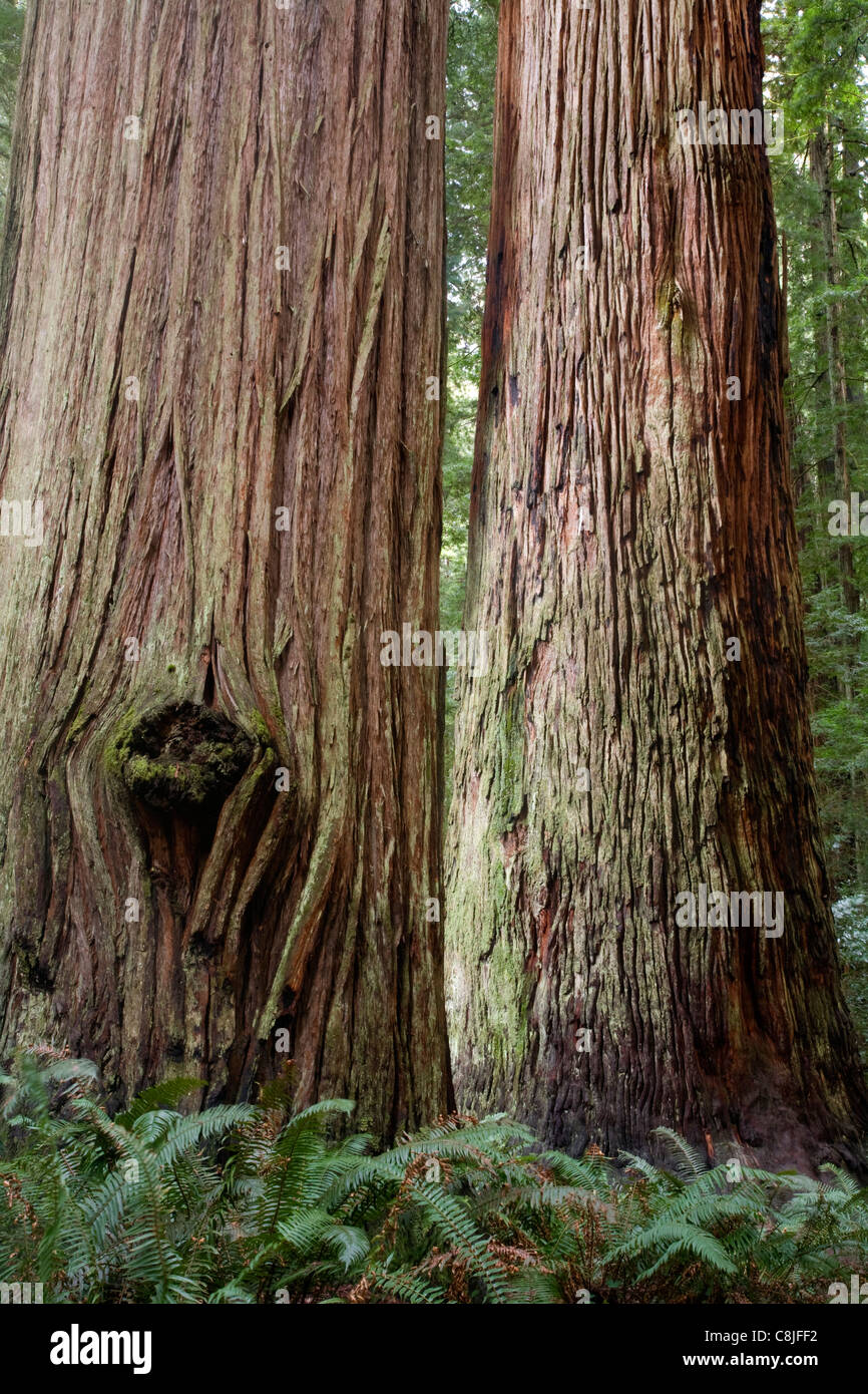 CALIFORNIA - Redwood forest in Stout Grove in Jedediah Smith Redwoods State Park part of the Redwood National and - Stock Image