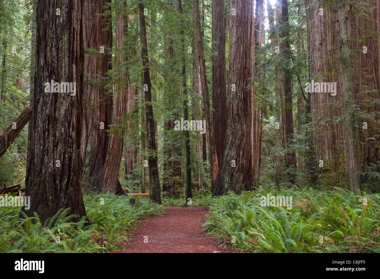 CALIFORNIA - Trail through the redwood forest in Stout Grove in Jedediah Smith Redwoods State Park . - Stock Image