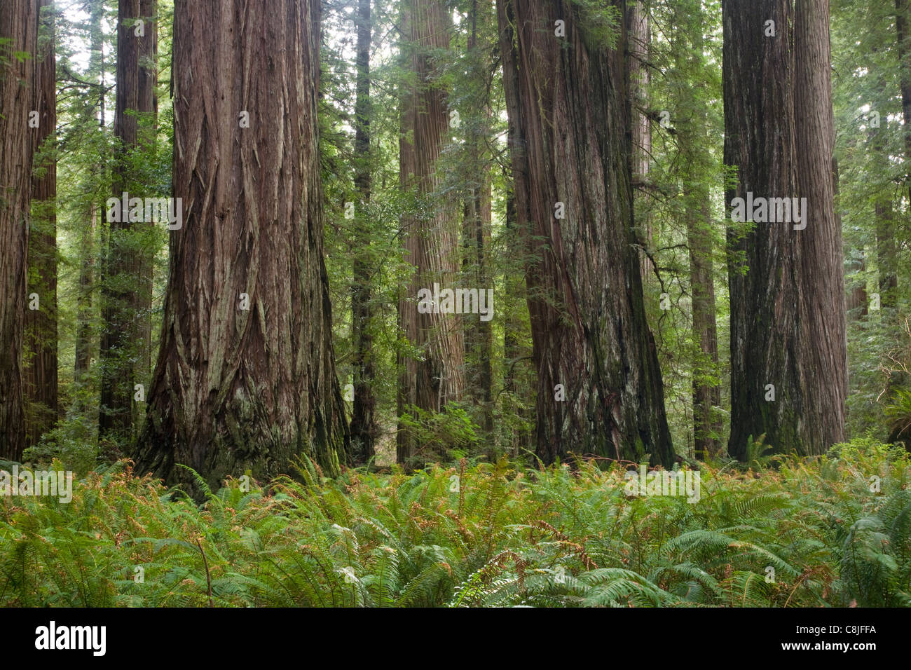 CALIFORNIA - Redwood forest in Stout Grove of Jedediah Smith Redwoods State Park part of the Redwood National and - Stock Image