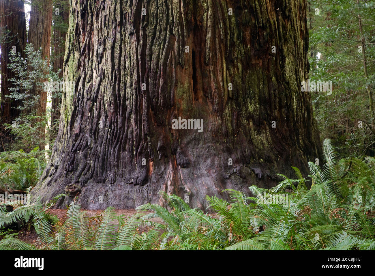 CALIFORNIA - Base of a giant redwood tree in Stout Grove at Jedediah Smith Redwoods State Park. - Stock Image