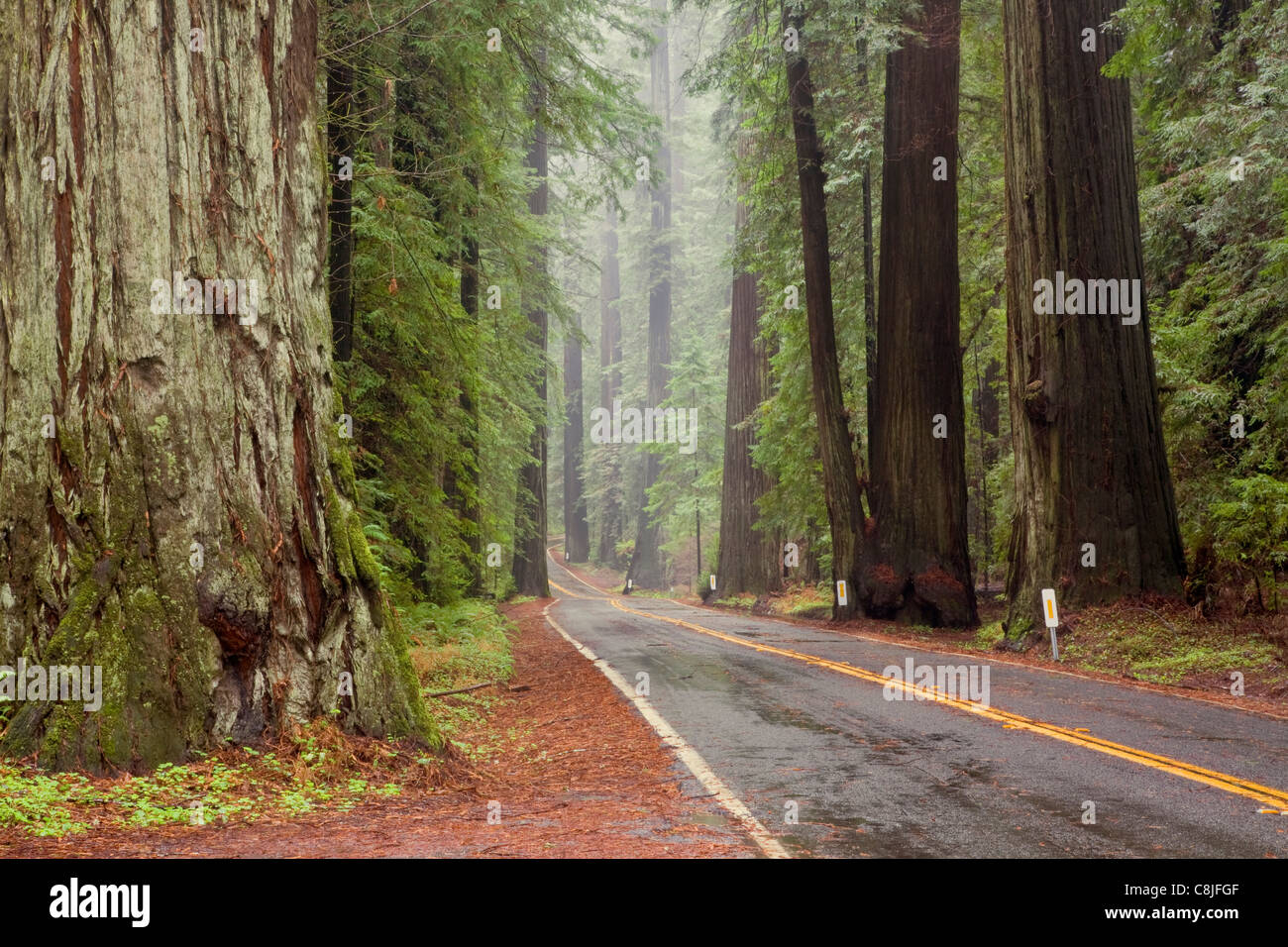 CA00902-00...CALIFORNIA - Avenue of the Giants through Humboldt Redwoods State Park. - Stock Image