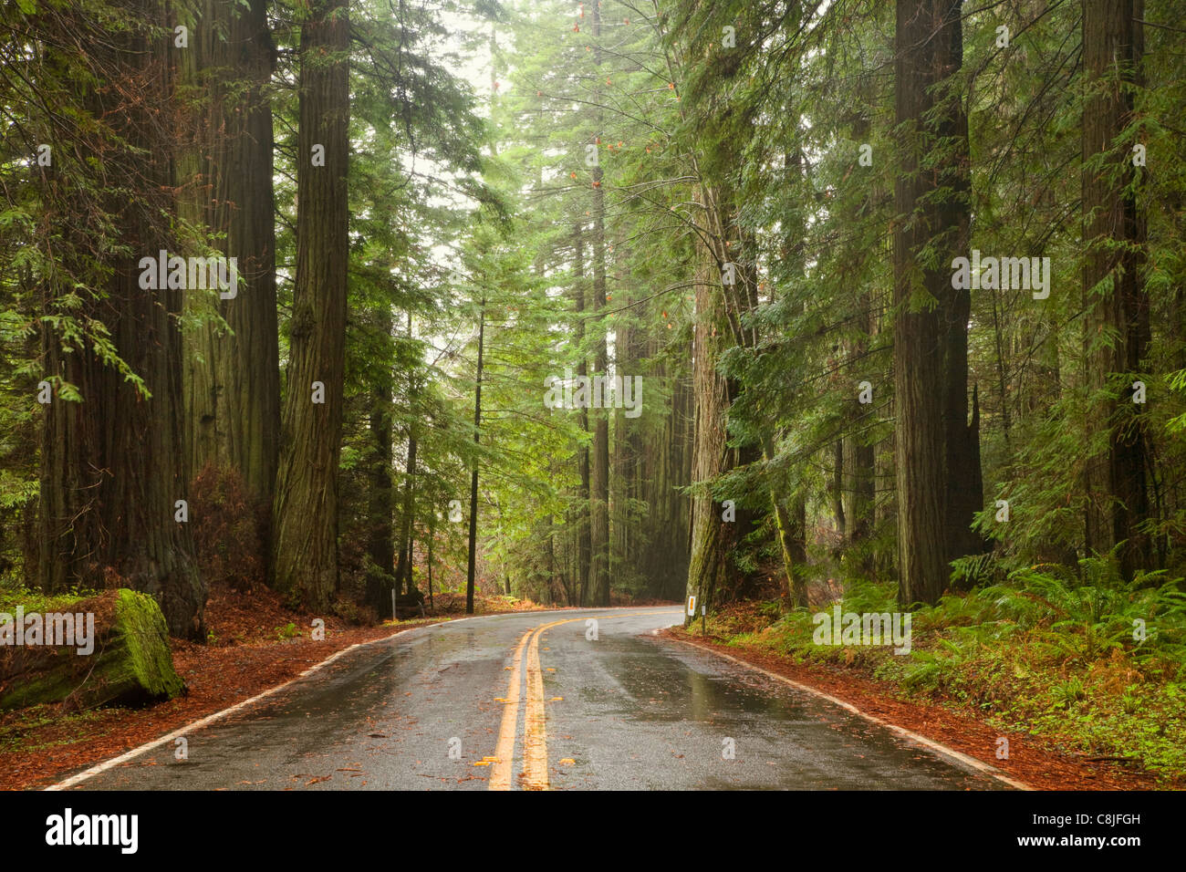 CA00903-00...CALIFORNIA - Avenue of the Giants through Humboldt Redwoods State Park. - Stock Image