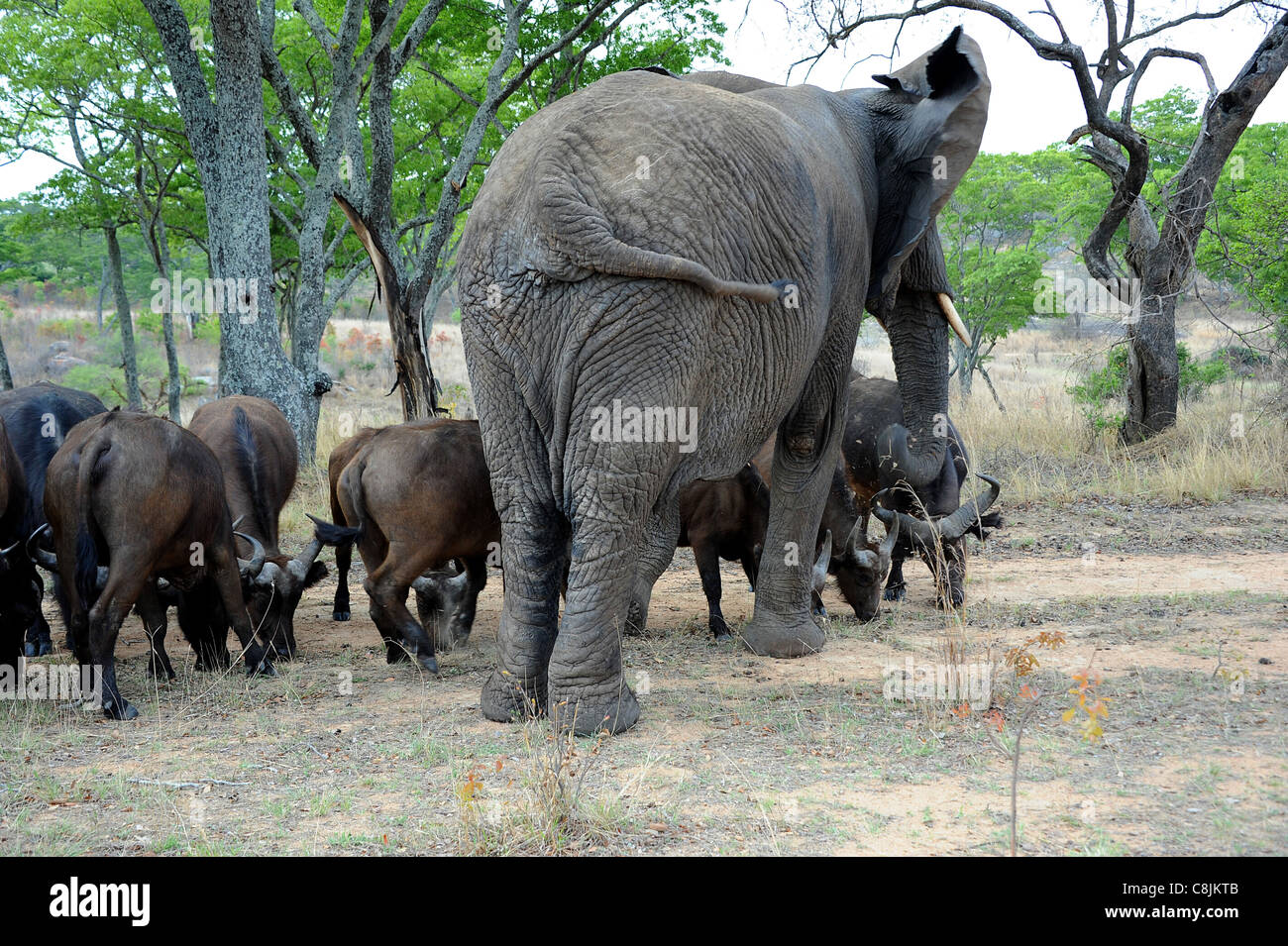 Nzou, a 35-year-old orphaned female elephant became the Matriarch of a herd of buffalo.  Imire Safari Ranch, Zimbabwe, - Stock Image