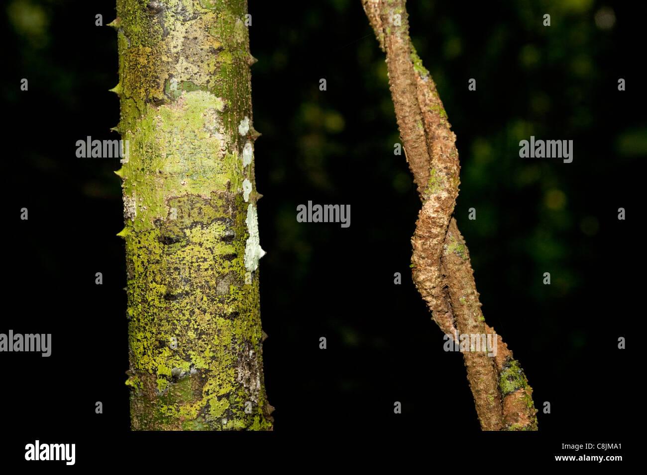 Vines in tropical rainforest, Kinabatangan, Sabah, Borneo, Malaysia - Stock Image
