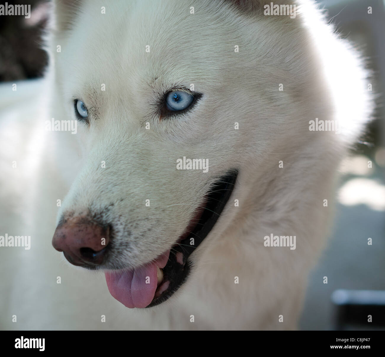White Siberian Husky Close Up Stock Photo 39750487 Alamy