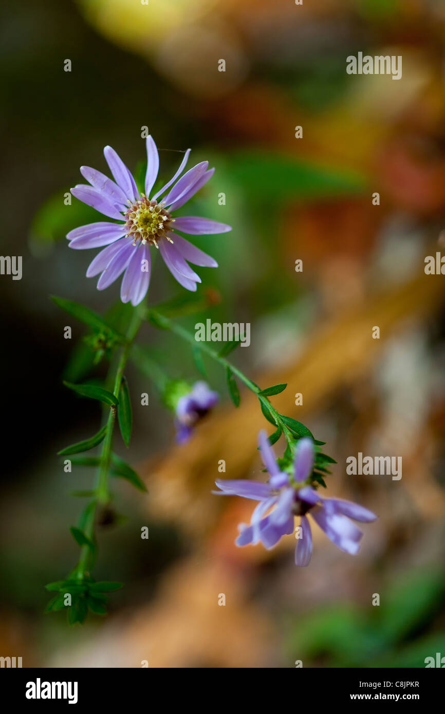 The Aster Family (Asteraceae) is one of the two largest flower plant families, the other being the Orchid Family - Stock Image