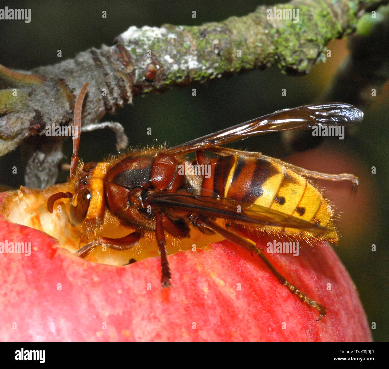 HORNET (Vespa crabro) Increasingly common in the UK the hornet has a well deserved reputaion for its sting and bad - Stock Image