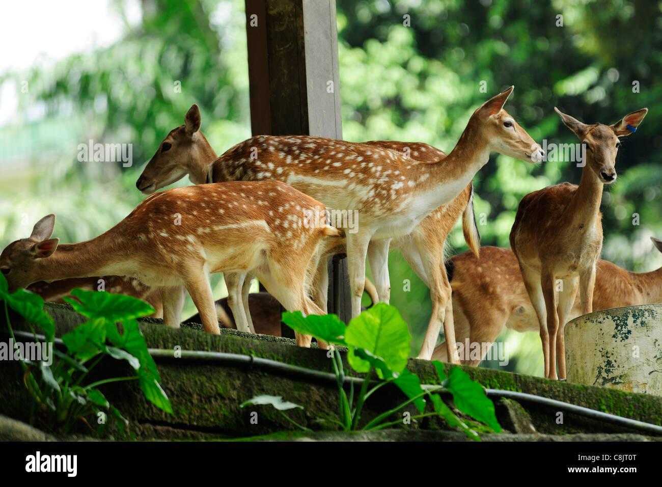 Deer Park within the Lake Gardens (Taman Tasik Perdana), Kuala Lumpur, Malaysia - Stock Image