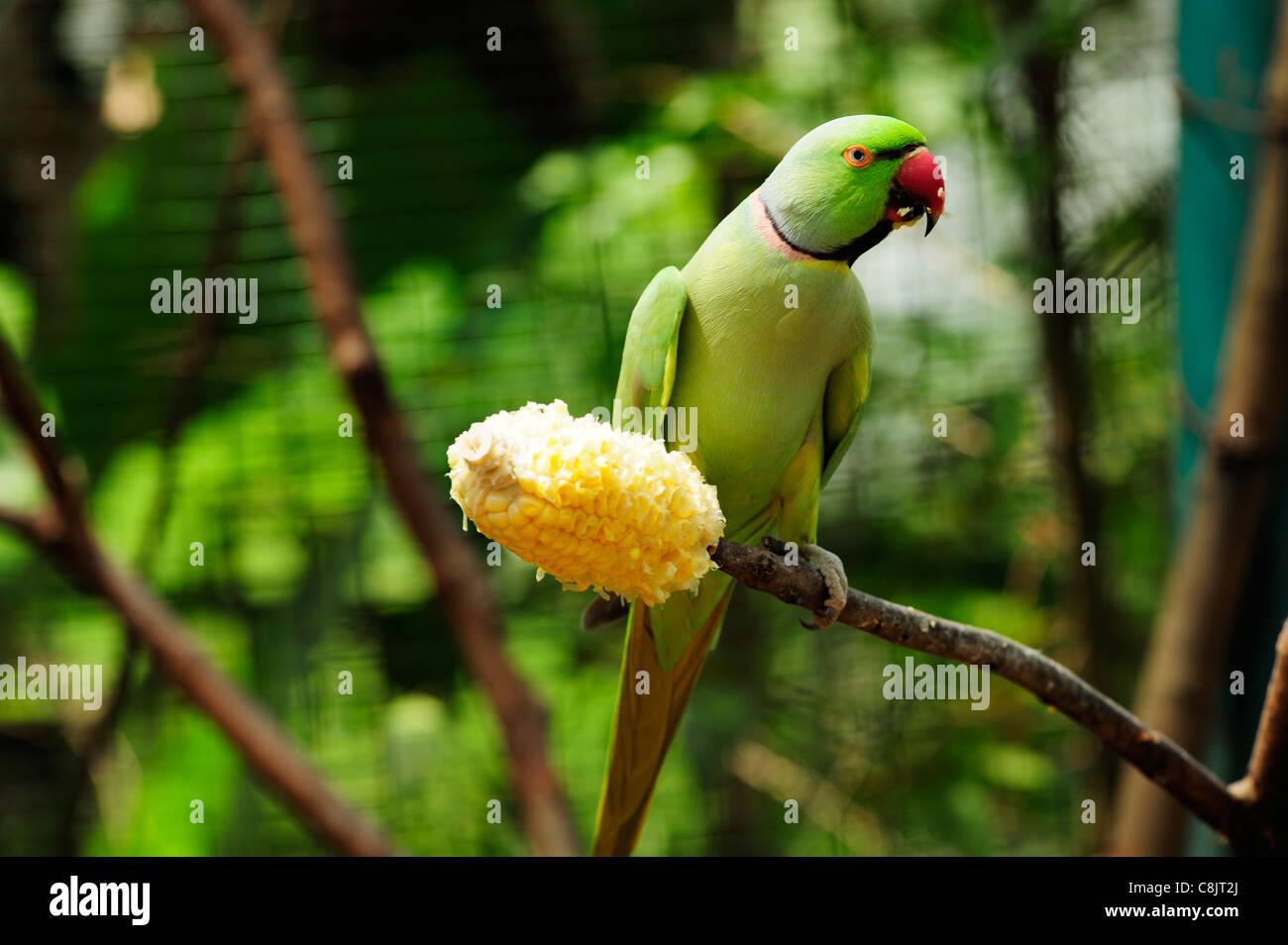 Green parrot at the Bird Park within the Lake Gardens (Taman Tasik Perdana), Kuala Lumpur, Malaysia - Stock Image