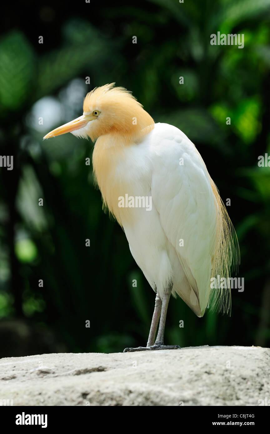 Cattle egret at the Bird Park within the Lake Gardens (Taman Tasik Perdana), Kuala Lumpur, Malaysia - Stock Image