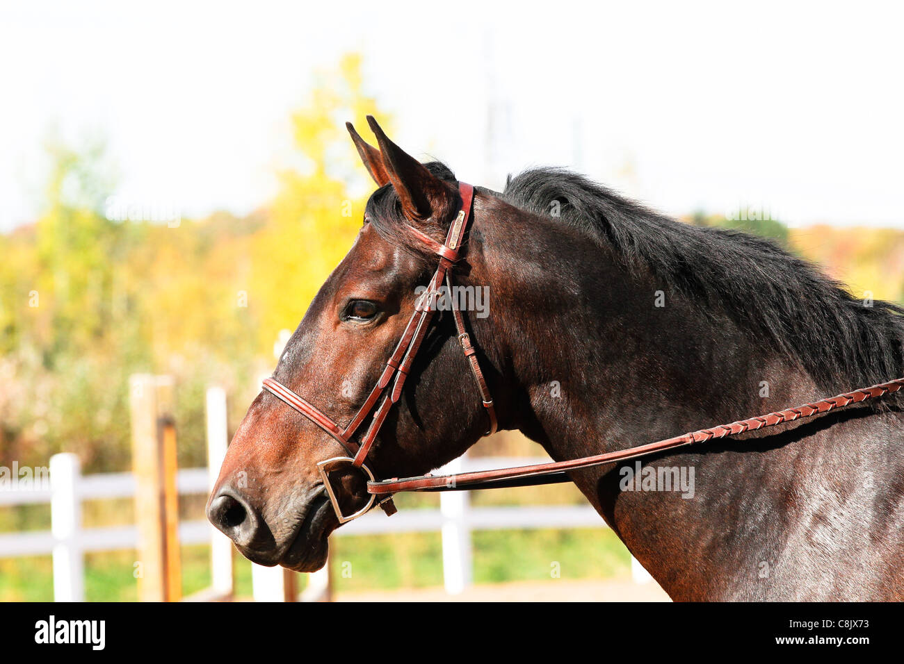 Bay horse head portrait - Stock Image