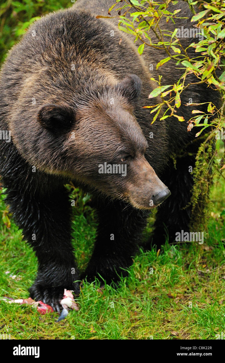 An adult grizzly bear looking up after feeding on some salmon. Stock Photo