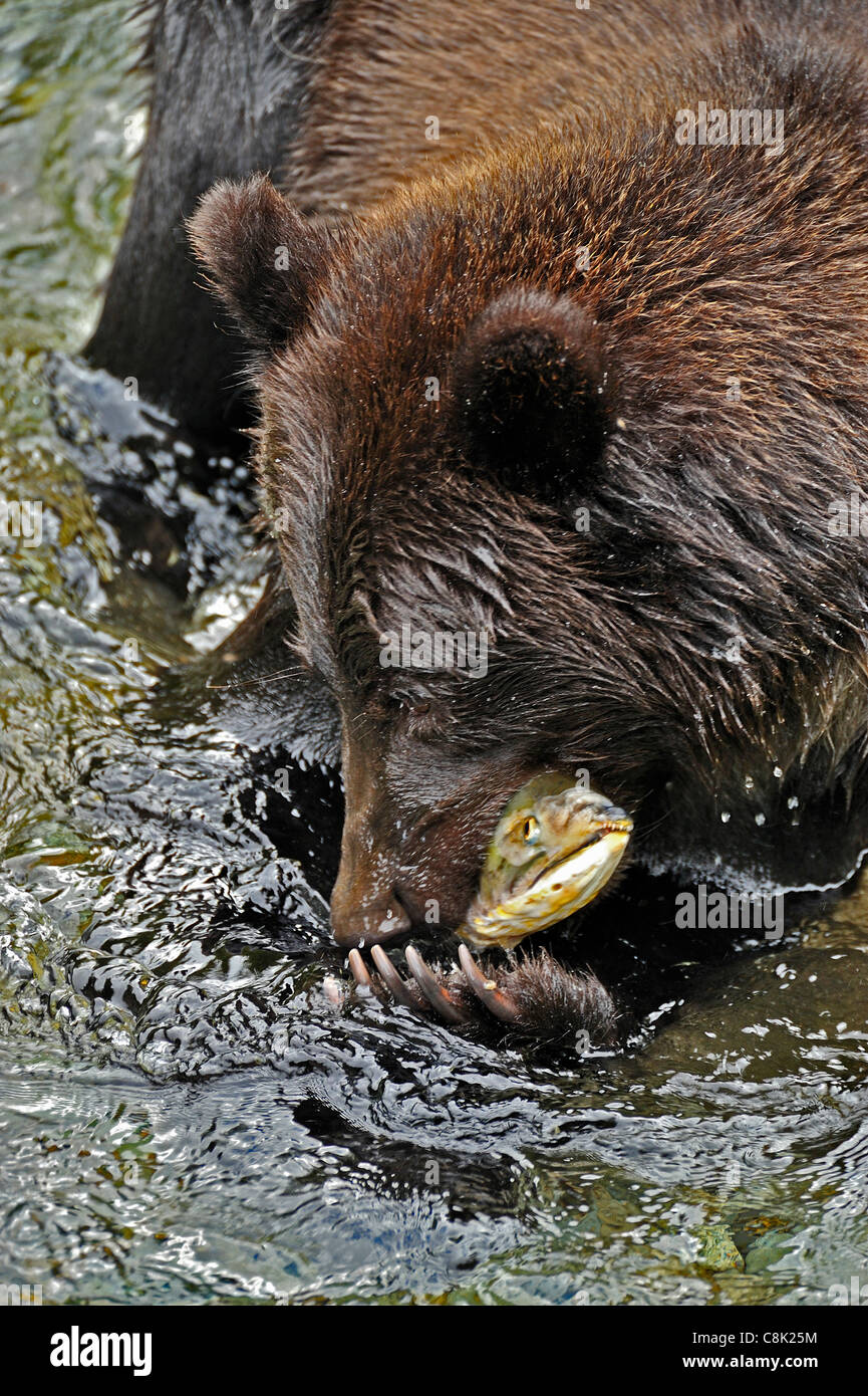A Grizzly Bear catching a spawning chum salmon in Fish Creek near Hyder Alaska Stock Photo