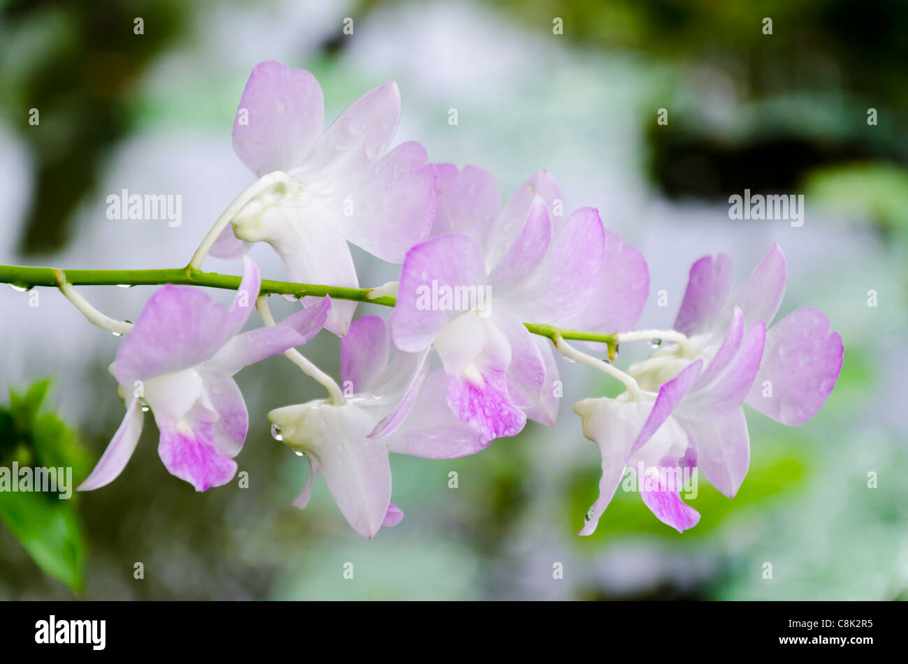 Closeup Of Delicate Wet Tropical Light Purple Flowers At The End Of